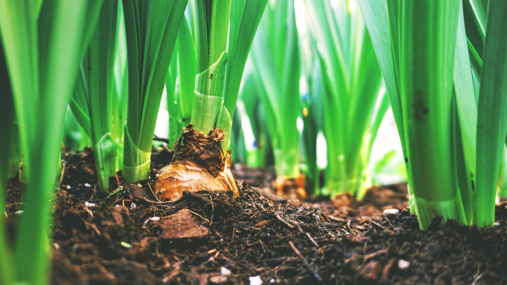 Several green plants sprout from rich soil